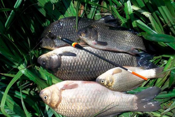 Ловля карася в озере весной: важные мелочи весенней рыбалки