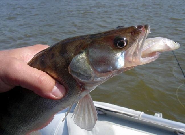 Ловля судака на живца: снасти для ловли с берега и лодки, какой ...