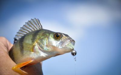 Ловля окуня в марте открывает активную рыбалку