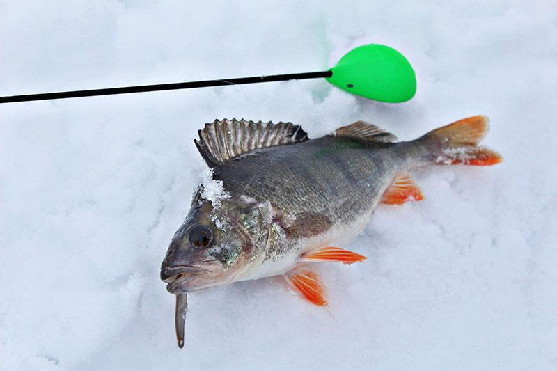 ловля окуня на блесну зимой фото 1