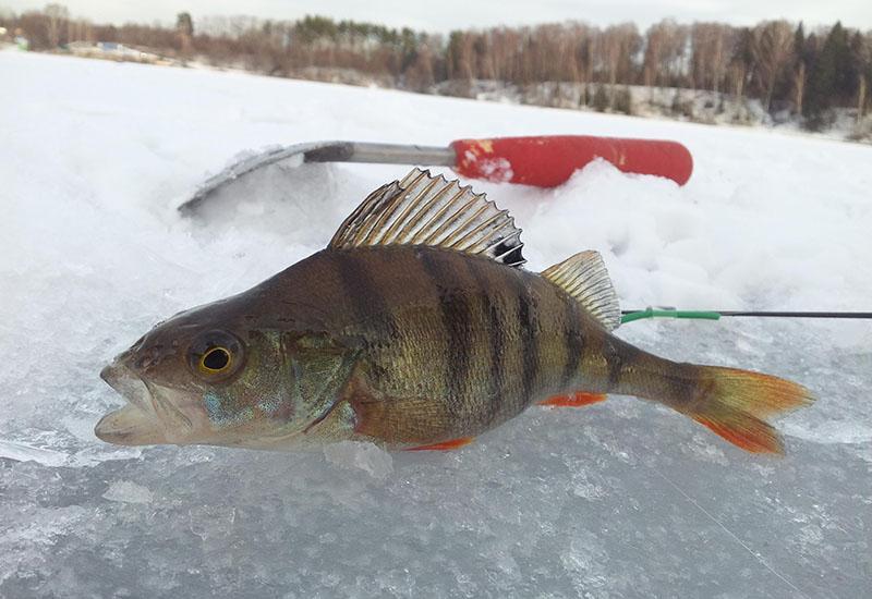 ловля окуня на блесну зимой фото 10
