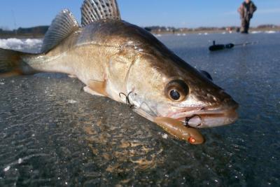 Ловля судака зимой на балансиры – увлекательный способ поймать хищника