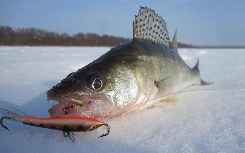 Ловля судака зимой на балансиры фото 2