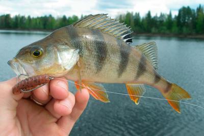 Отводной поводок на окуня – эффективный способ ловли хищника на спиннинг