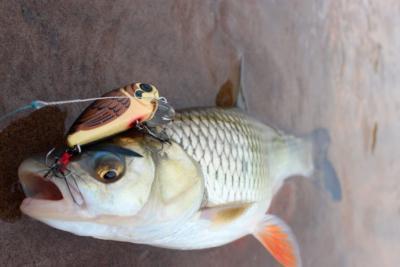 Воблеры на жереха – уловистая приманка, требующая рыболовного опыта
