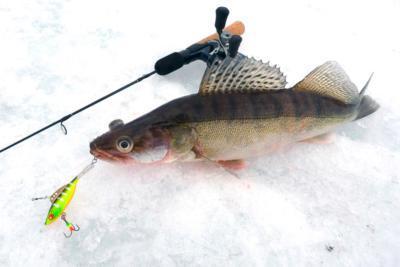 Эффективная ловля судака зимой по открытой воде и со льда