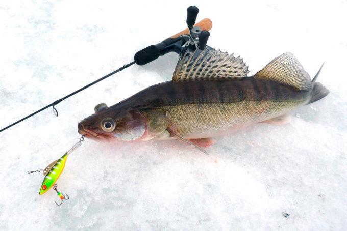 Ловля зимой на спиннинг по открытой воде судак окунь щука