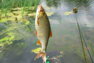 Поймать простую рыбку плотву – вовсе не просто