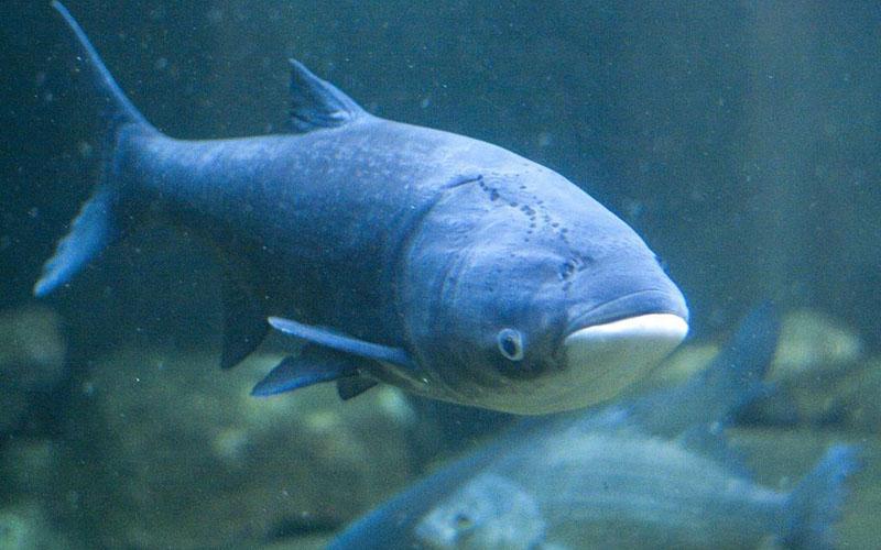 Ловля толстолобика: как ловить и поймать, как прикормить и на что ...