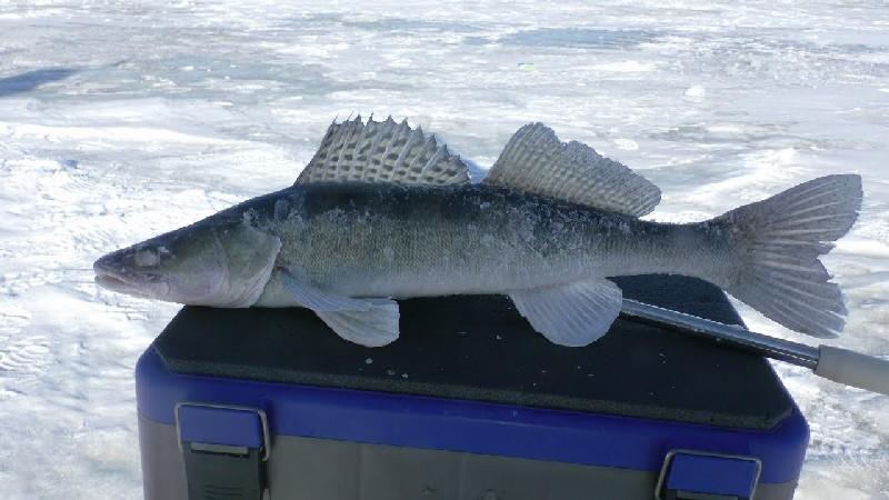 Ловля судака на тюльку зимой фото 2