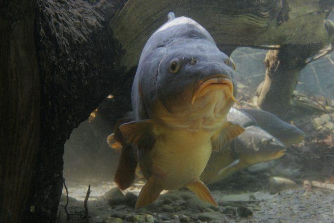 Какая леска нужна для ловли карпа — Здесь рыба