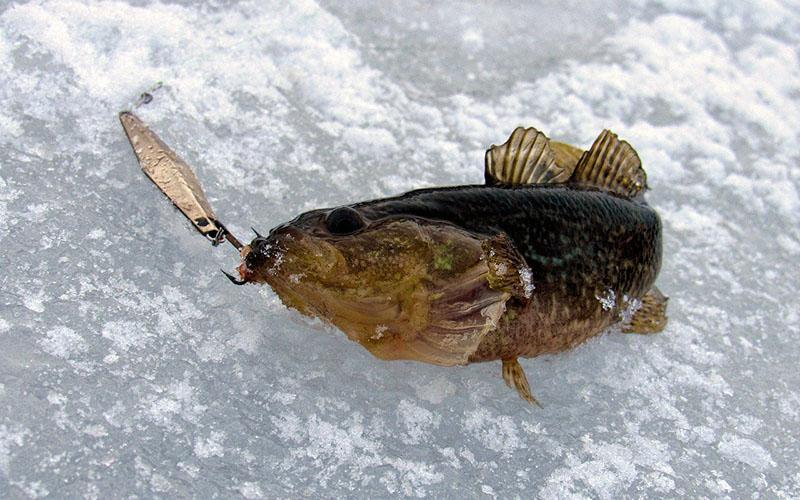 ловля ротана по первому льду фото 3