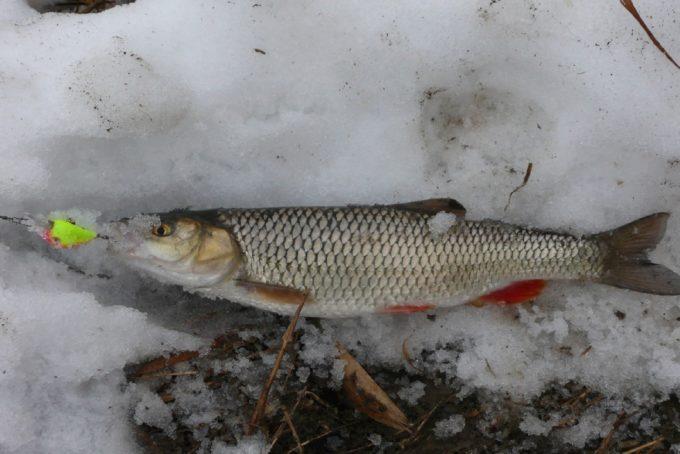 Как поймать голавля в зимнюю пору   Обзор способов ловли