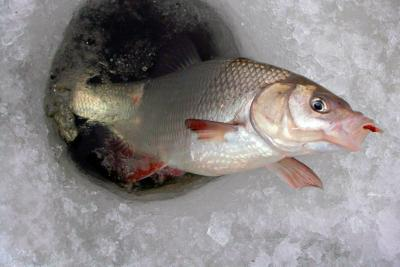 Непростая, но интересная рыбалка или ловля карася зимой