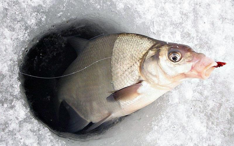 ловля леща зимой фото 5