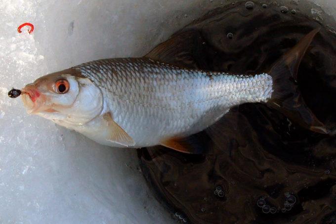 Лучшие уловистые мормышки на плотву, мормышки для зимней рыбалки: как ловить зимой{q}