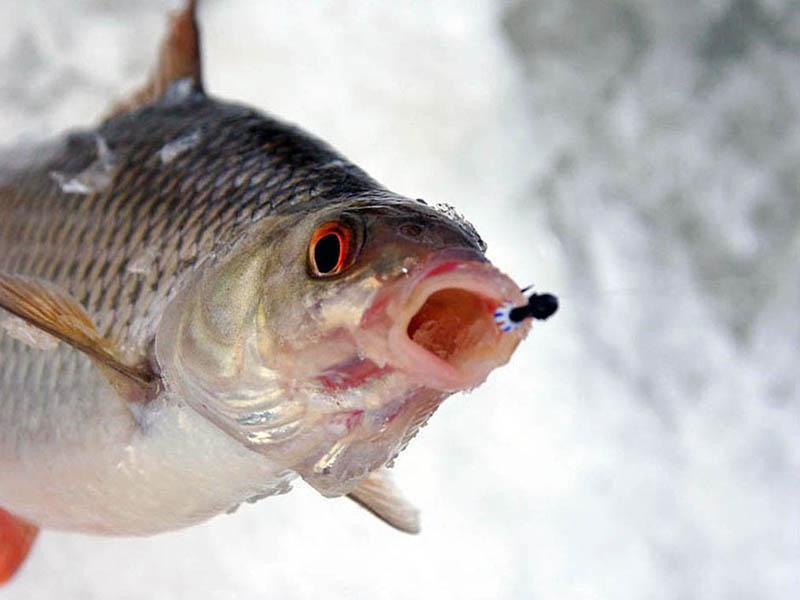 ловля чебака на мормышку зимой фото 1