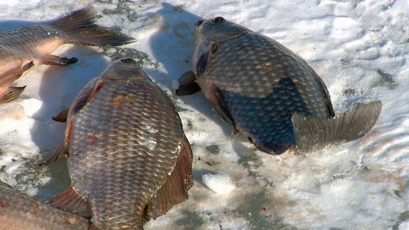 ловля карася по первому льду фото 1
