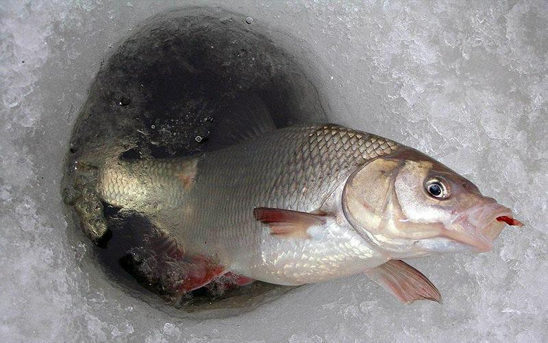 ловля карася по первому льду фото 2