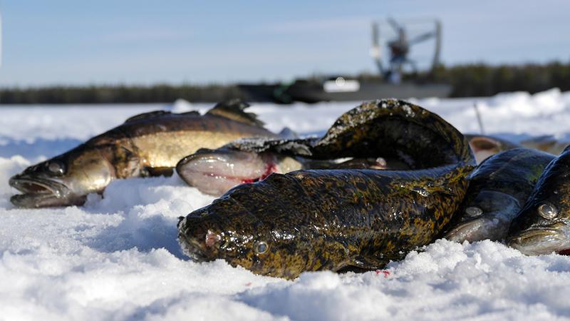 ловля налима зимой фото 1