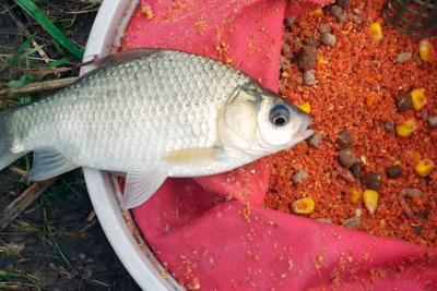 Прикормка для карася – важное условие успешной рыбалки