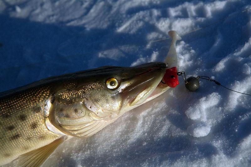 ловля щуки зимой фото 4