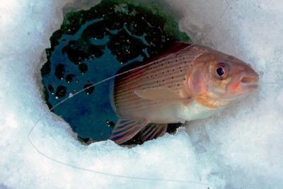 Зимняя рыбалка на хариуса – сложная, но интересная ловля красивой рыбы