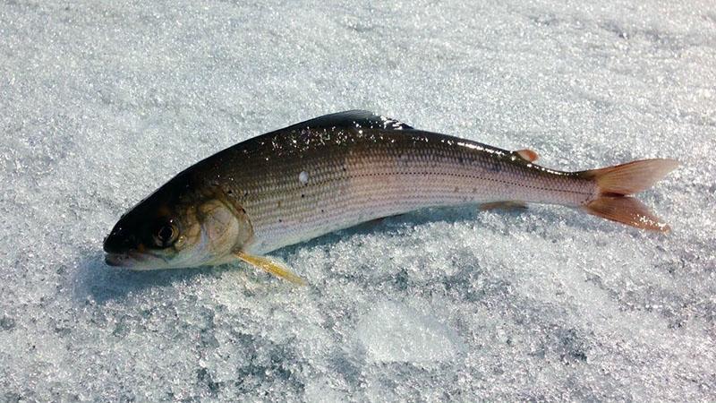 Зимняя рыбалка на хариуса
