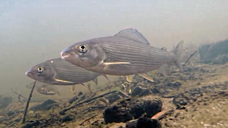 зимняя рыбалка на хариуса фото 3