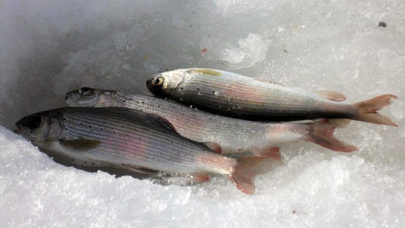 зимняя рыбалка на хариуса фото 5