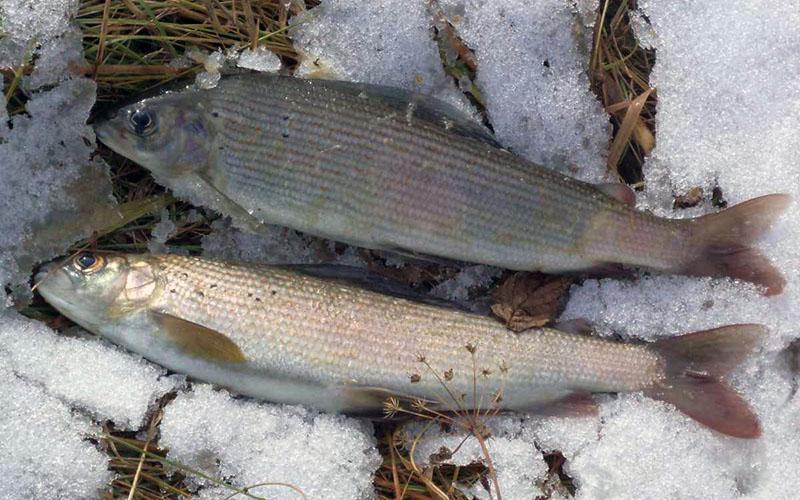 зимняя рыбалка на хариуса фото 6