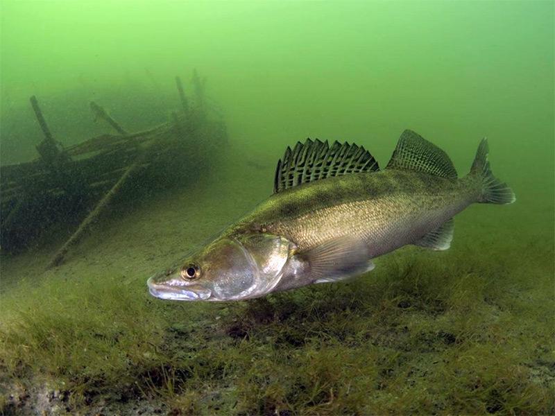 Все о ловле судака летом: от выбора наживки до поиска мест для рыбалки