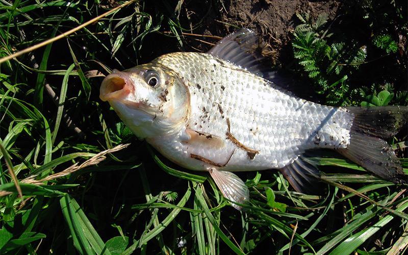 Классика жанра или приготовление перловки для рыбалки