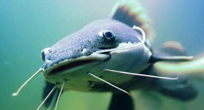 Секреты успешной ловли сома весной: снасти, поиск мест, тактика и техника рыбалки