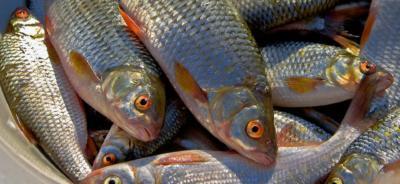 Чем и как приманивать плотву при зимней рыбалке? Рецепты прикормок