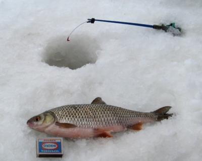Тактика и техника ловли карася на мормышку зимой. Всё о том, как заполучить крупную добычу