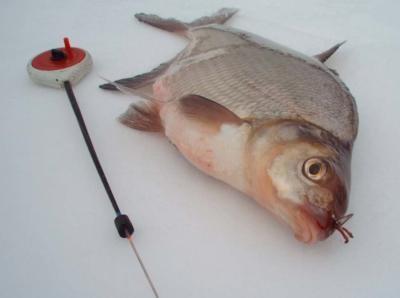 Рыболовам на заметку: ловля леща и подлещика зимой на мормышку и другими способами