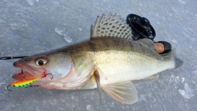 Секреты зимней рыбалки. Какие балансиры выбрать для ловли судака?