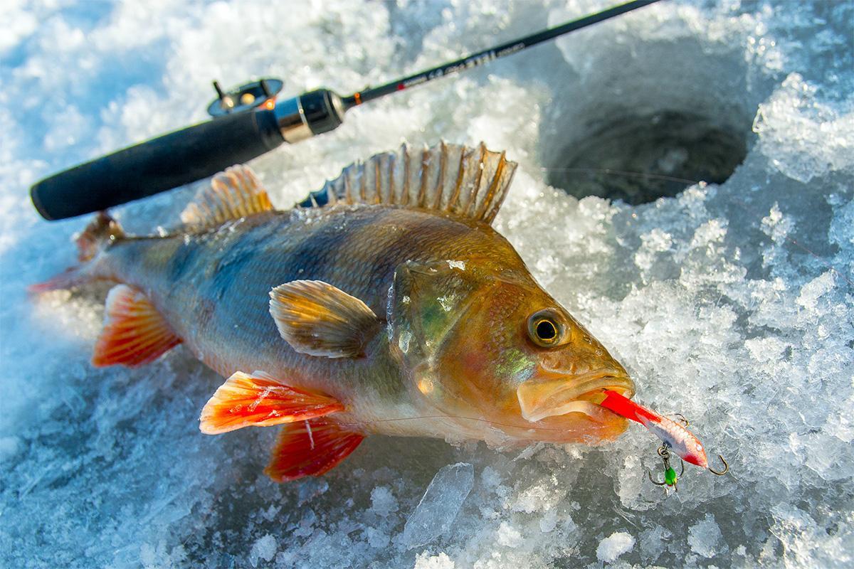 Ловля окуня зимой по первому льду