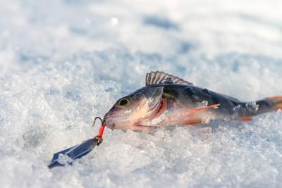Основные принципы ловли окуня со льда на больших водоемах