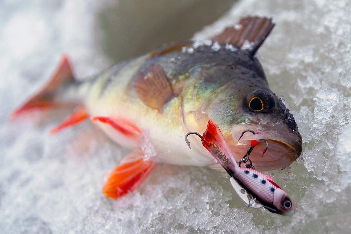 Тактика ловли окуня на больших водоемах зимой
